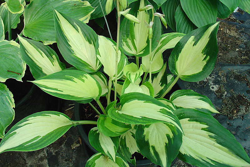 Hosta: Christmas Candy