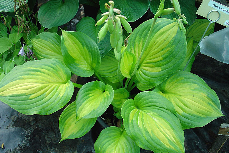 Hosta: Dance with Me