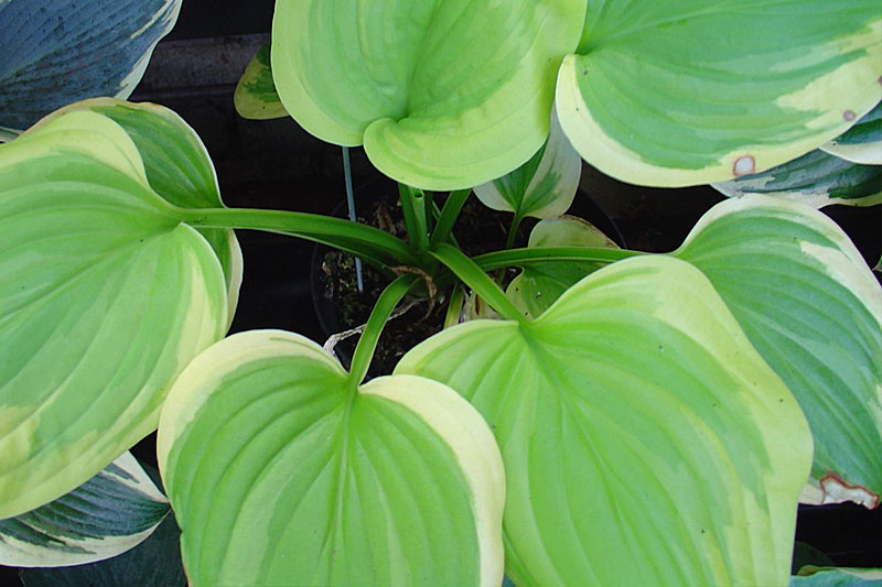 Hosta: Sweet Innocence
